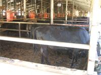施工前の牛は地面が暑いため立っています